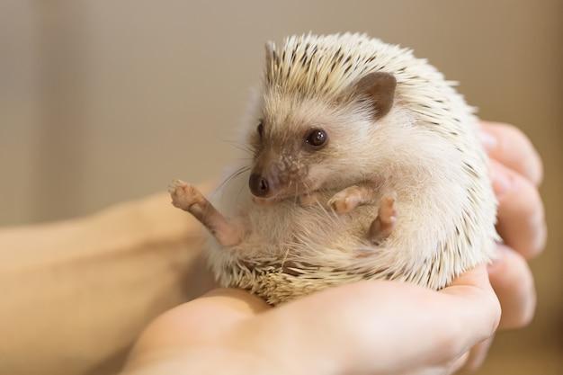 Piccolo riccio carino in mani femminili.