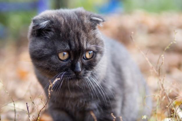 Piccolo ritratto sveglio del gattino scozzese nero