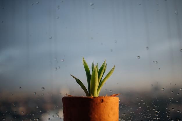 Piccolo vaso di haworthia sulle finestre piovose.