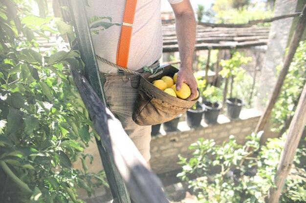 Picking lemon in una giornata di sole