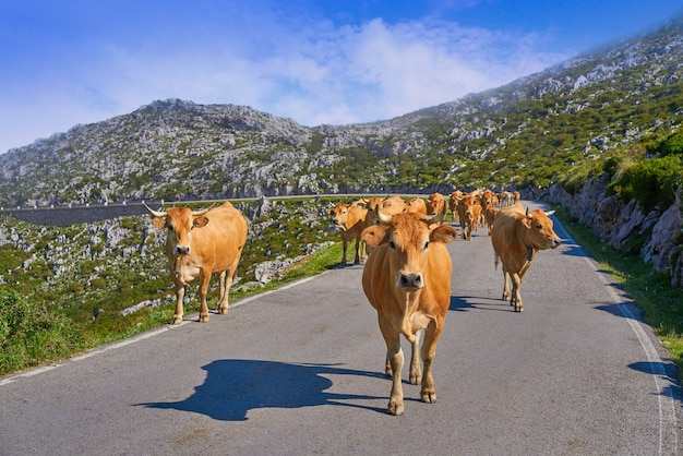 Picos de europa nelle mucche delle asturie sulla strada spagna