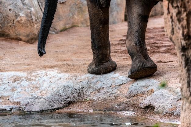 Piedi enormi dell'elefante africano della savanna, loxodonta africana.