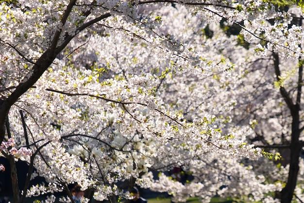 Piena fioritura di sakura bianca o fiore di ciliegio nel parco di nakajima, sapporo, giappone.