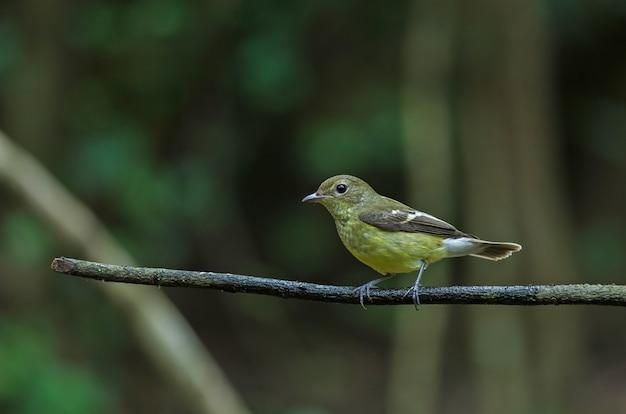 Pigliamosche dalla groppa gialla (zanthopygia di ficedula) in natura della tailandia