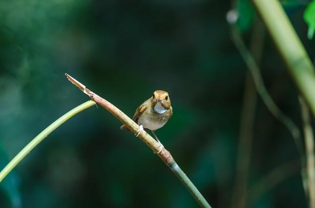 Pigliamosche dalle sopracciglia rufous (solitaris di ficedula) sul ramo