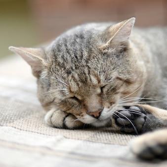 Pigro gatto soriano pisolino sul divano