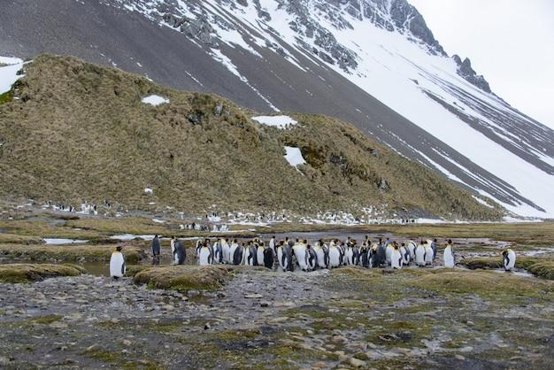 Pinguini reali in antartide