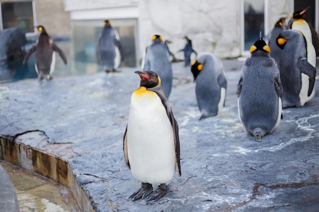 Pinguini reali nello zoo di asahiyama, asahikawa, hokkaido, giappone.