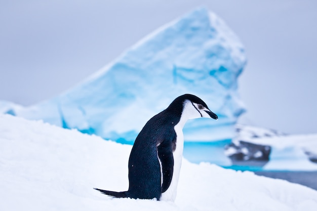 Pinguino bianco e nero