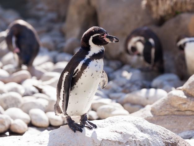 Pinguino di humboldt che si leva in piedi sulle pietre