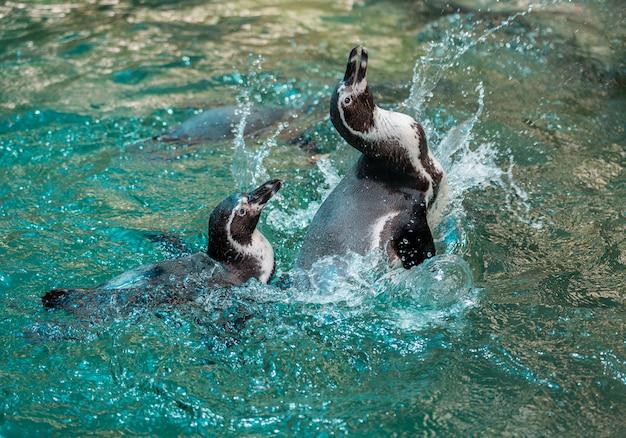 Pinguino di humboldt, pinguino peruviano, che gioca con l'acqua.
