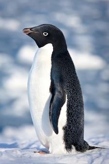 Pinguino in bianco e nero in ambiente naturale