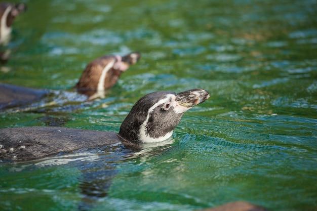 Pinguino manchot
