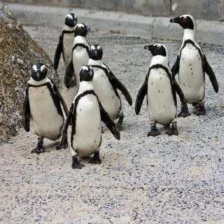 Pinguino posse divertente