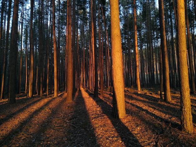Pini al tramonto con lunghe ombre