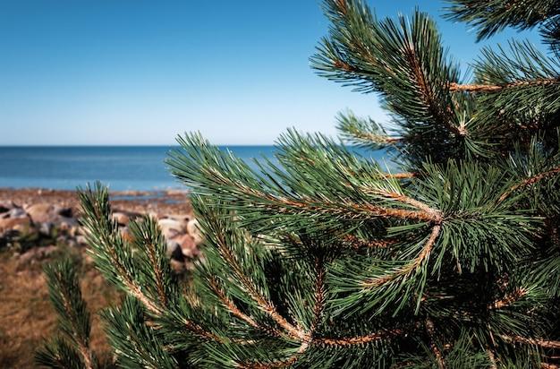 Pini sulla costa del mar baltico