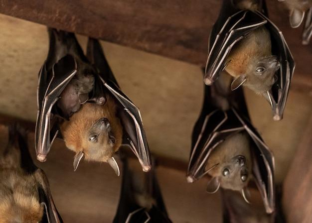 Pipistrello della frutta dalla faccia di cane minore, cyneropterus brachyotis, madre con giovane