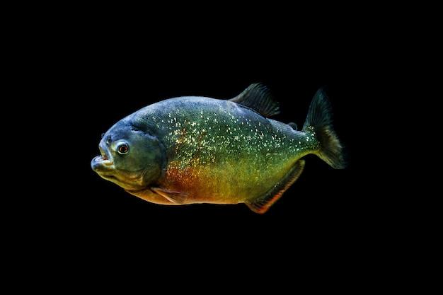 Piranha oscurante