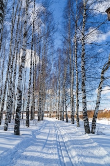 Pista da sci in una foresta di betulle d'inverno piste da sci di fondo