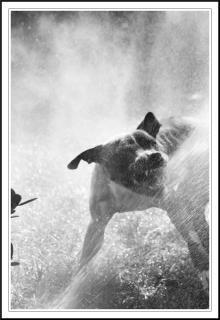Pit bull attaccando acqua