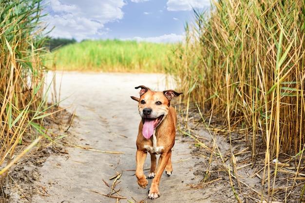 Pitbull terrier americano rosso
