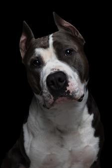 Pitbull terrier americano sul nero