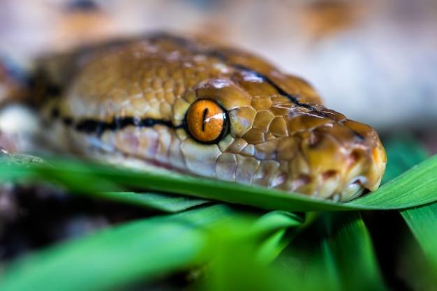 Pitone (morelia viridis). primo piano dell'occhio