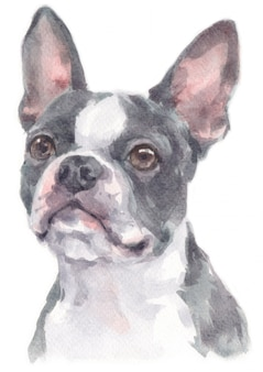 Pittura ad acquerello di boston terrier