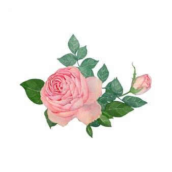 Pittura ad acquerello rosa su sfondo bianco
