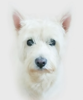 Pittura di un cane west highland terrier