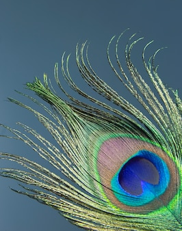 Piuma di pavone colorata.