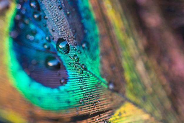 Piuma di pavone esotico colorato con gocce d'acqua
