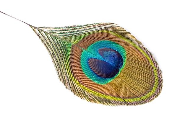 Piuma di pavone isolata su un bianco.