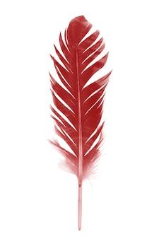 Piuma rossa isolata su fondo bianco
