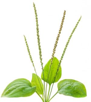 Plantano comune, medicina di erbe isolata su bianco