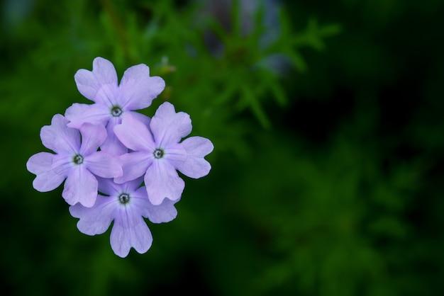 Plumbago di colore viola (fiore di plumbaginaceae)