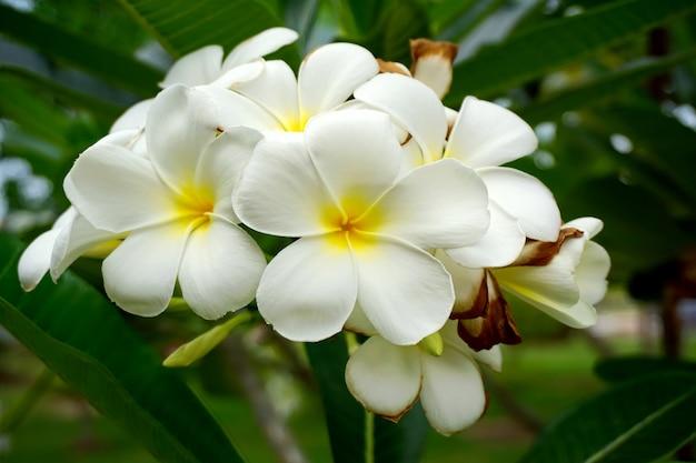 Plumeria bianca