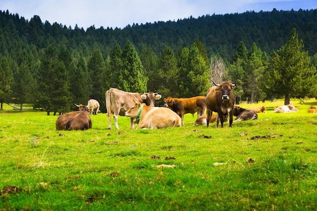 Poche mucche al prato