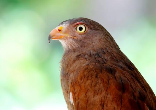 Poiana dalle ali voluttuose butastur liventer beautiful birds of thailand