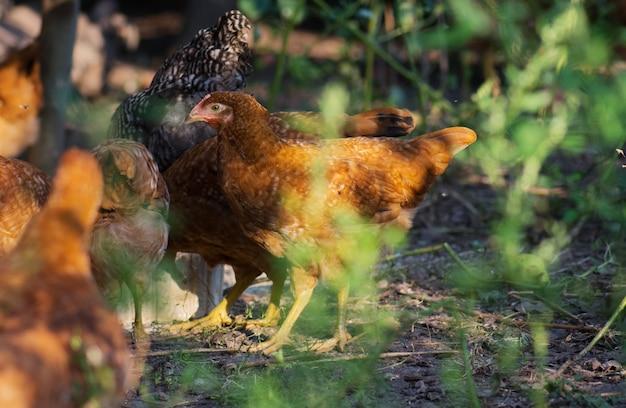 Polli al pascolo in campo. le galline si nutrono di cortile alla giornata di sole. galline in posa in erba fresca. tempo di alimentazione dei polli