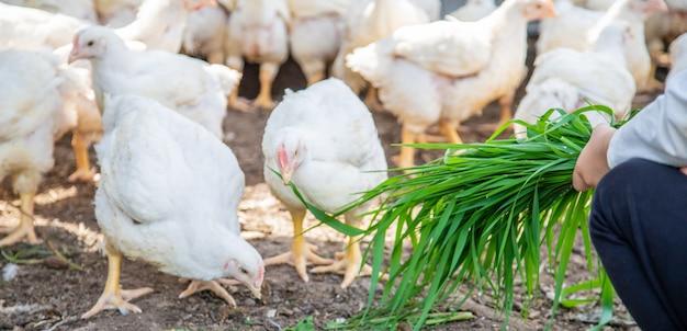 Polli bio in una fattoria di casa per bambini.