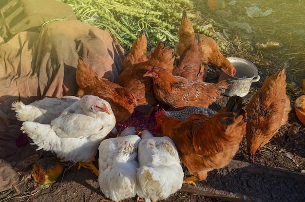 Polli bio in una fattoria di casa. pollo in pollaio