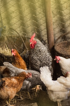 Polli bio in una fattoria di casa