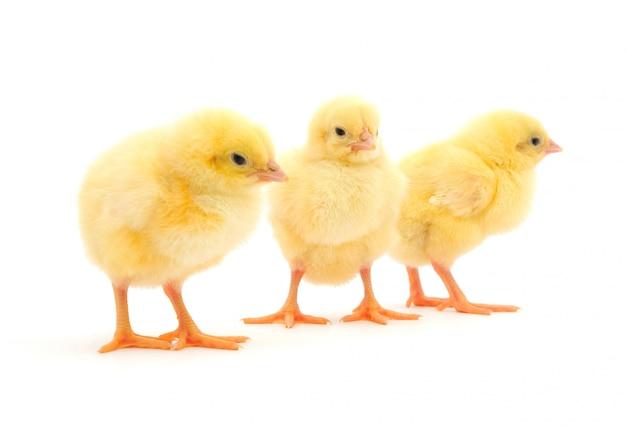 Polli gialli isolati