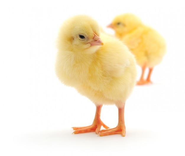 Polli gialli