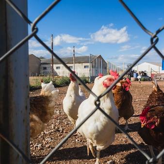 Polli guardando attraverso un filo in una fattoria