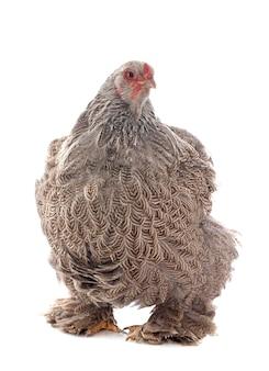 Pollo brahma