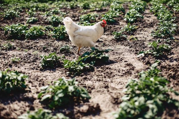 Pollo cammina lungo i letti di patate