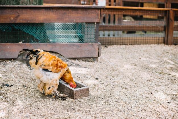 Pollo che mangia i grani nella fattoria