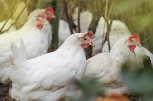 Pollo che vive all'aperto nella mandria. gallina sul campo che pasce liberamente su un prato